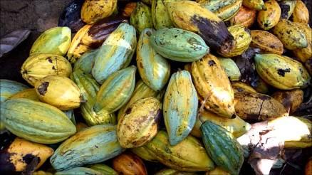 cacao7